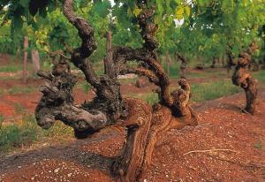 An old bush vine