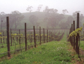 Vaughan Vineyard